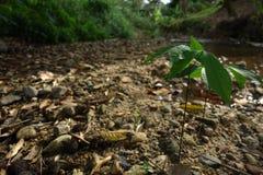 Plântulas selvagens das árvores da borracha Foto de Stock Royalty Free