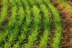 Plântulas verdes do trigo Imagens de Stock Royalty Free