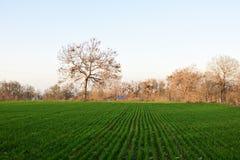 Plântulas verdes do trigo Imagem de Stock