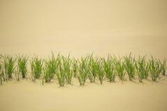 Plântulas verdes no campo dourado Foto de Stock Royalty Free