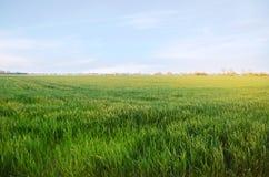 Plântulas verdes novas do trigo que crescem em um campo agricultura cultivar Cultivo do trigo e das colheitas de grão Foco macio  foto de stock
