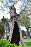 Plátanus plane-tree Royalty Free Stock Photography