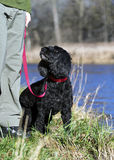 Plädieren des Blickes vom portugiesischen Wasser-Hund Lizenzfreie Stockbilder