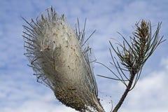 Plåga på ett sörjaträd Arkivbilder