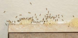 Plågakontroll - Sugar Ants Eating Bait Arkivfoto
