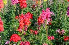 Plötslig drake som blommar i trädgård Royaltyfri Foto