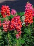 Plötslig drake som blommar i trädgård Arkivfoton
