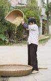 Plötslig stående av att välja för sojaböna arkivfoton