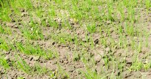A pl?ntula do alho por? cresce na estufa Vegetais org?nicos crescentes cultivar agricultura Sementes Close-up Foco seletivo fotos de stock royalty free