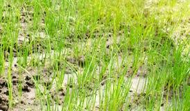 A pl?ntula do alho por? cresce na estufa Vegetais org?nicos crescentes cultivar agricultura Sementes Close-up Foco seletivo fotos de stock