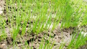 A pl?ntula do alho por? cresce na estufa Vegetais org?nicos crescentes cultivar agricultura Sementes Close-up Foco seletivo fotografia de stock