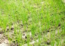 A pl?ntula do alho por? cresce na estufa Vegetais org?nicos crescentes cultivar agricultura Sementes Close-up Foco seletivo macio imagens de stock royalty free