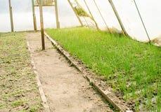 A pl?ntula do alho por? cresce na estufa Vegetais org?nicos crescentes cultivar agricultura Sementes Terra Foco seletivo imagem de stock