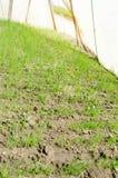 A pl?ntula do alho por? cresce na estufa Vegetais org?nicos crescentes cultivar agricultura Sementes Terra Foco seletivo imagem de stock royalty free