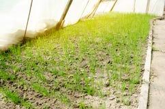 A pl?ntula do alho por? cresce na estufa Vegetais org?nicos crescentes cultivar agricultura Sementes Terra Foco seletivo fotos de stock royalty free