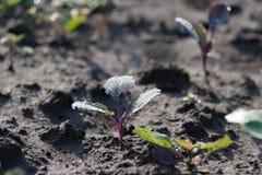 Pl?ntula nova da couve que cresce no solo escuro da terra Imagem da perspectiva do Lowdown imagens de stock