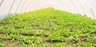 Pl?ntulas das pimentas novas que crescem em uma estufa sob o filme pl?stico Vegetais org?nicos crescentes agricultura cultivar fotos de stock royalty free