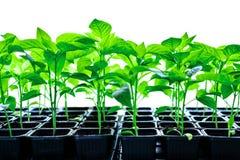 Pl?ntulas do vegetal da planta da pimenta fotos de stock