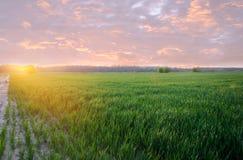 Pl?ntulas verdes novas do trigo que crescem em um campo no por do sol agricultura cultivar Cultivo do trigo e das colheitas de gr imagem de stock royalty free