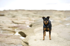 Plaża mały pies zdjęcia stock