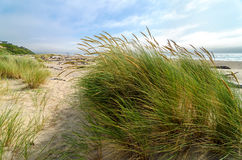 Plażowa trawa Zdjęcie Stock