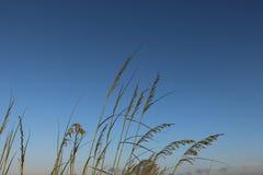 Plażowe traw płochy Obraz Stock