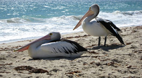 plażowi pelikany dwa Fotografia Royalty Free
