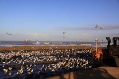Plażowy żywienie buldożeru katwijk fotografia royalty free