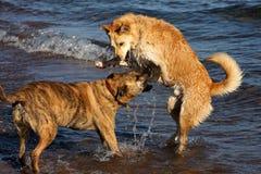 plażowy bawić się psów Fotografia Royalty Free