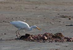 plażowy bydła egret tanji Fotografia Royalty Free