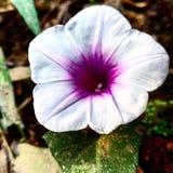 plażowy moonflower ja jest ładnym kwiatem obrazy royalty free