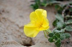 plażowy pierwiosnkowy kolor żółty Zdjęcia Stock