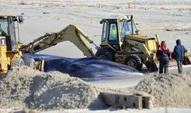 Plażowy pogrzeb dla nieżywego wieloryba przy popiółu punktem Obraz Royalty Free