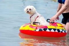 Plażowy psi przygotowywający żagiel daleko od Fotografia Royalty Free