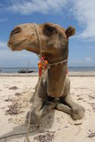 plażowy wielbłąd Zdjęcia Royalty Free