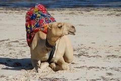 plażowy wielbłąd Zdjęcie Stock