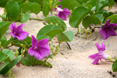 plaża kwitnie purpura piasek zdjęcia royalty free