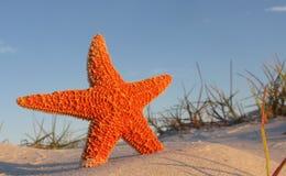 plażowa rozgwiazda Fotografia Royalty Free