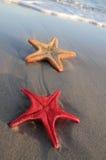 plażowa rozgwiazda piaskowata 2 Obrazy Royalty Free