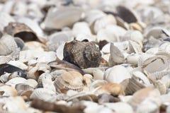 plażowe skorupy Zdjęcie Royalty Free