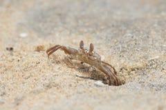 plażowego czarny kraba denny brzeg Obraz Stock