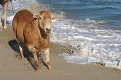 plażowi cakle Zdjęcie Royalty Free
