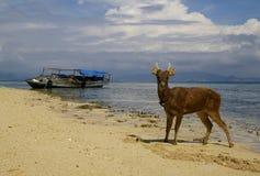 plażowi jeleni potomstwa Obraz Stock
