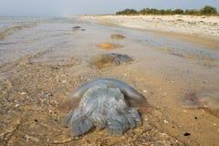 plażowi meduz. Fotografia Stock
