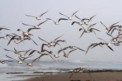 plażowi mewy Obraz Royalty Free