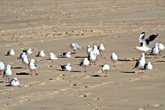 plażowi mewy obrazy stock