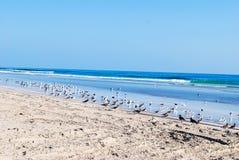 plażowi ptaki Zdjęcia Stock