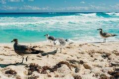 pla?owi ptaki cancun seagulls obraz stock