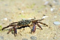 plażowy krab Fotografia Stock