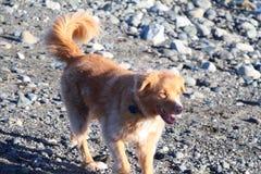 Plażowy pies Zdjęcia Royalty Free